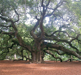 Johns Island - Angel Tree